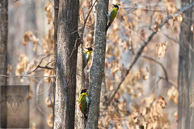 Black-Headed Woodpecker at Huai Kha Kaeng WS