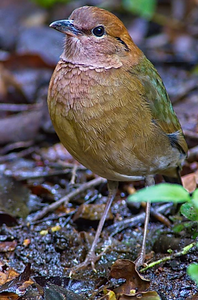 Rusty-naped Pitta at Mae Wong National Park