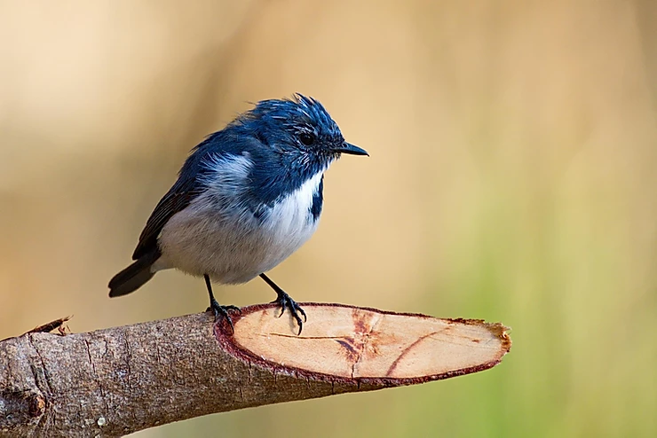 Ultramarine Flycatcher at Doi Lang