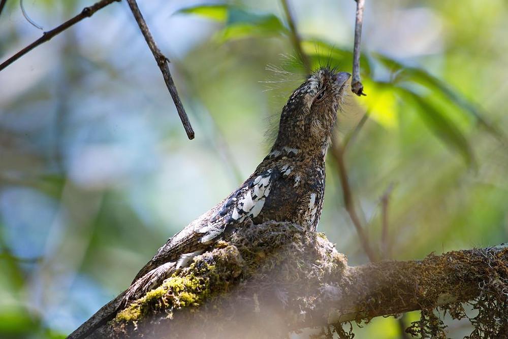 Hodgson's Frogmouth at Doi Lang