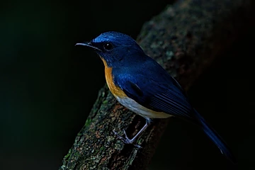 Indochinese -blue Flycatcher at Kaeng Krachan