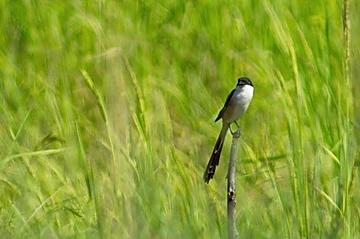 Long-tailed Shrike at Pak Phli