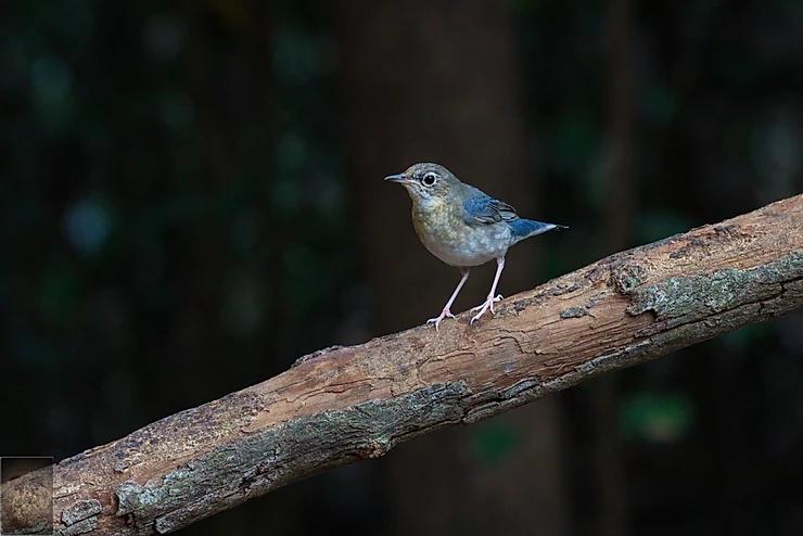 Siberian Blue Robin at Kaeng Krachan