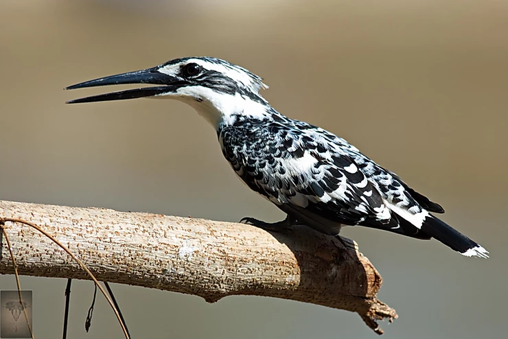 Pied Kingfisher.       (Ceryle rudis)