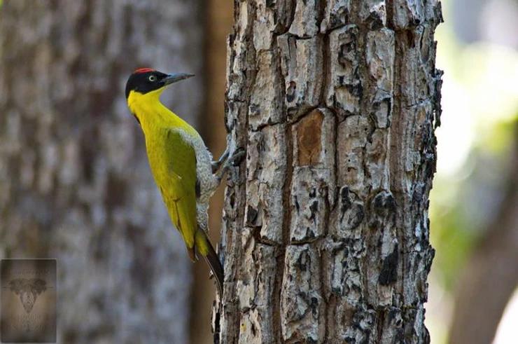 Black-headed Woodpecker  at Huai Kha Khang