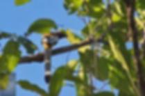 Huai Kha Kaeng WS-Rufous Treepie.