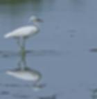Pak Thale-Chinese Egret.