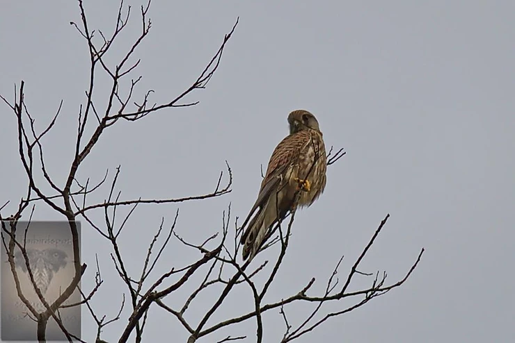 Kestrel at Mae Wong