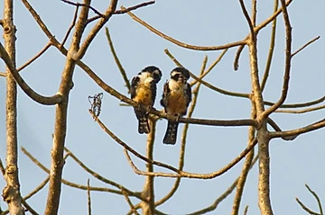 Black-thighed Falconet at Kaeng Krachan
