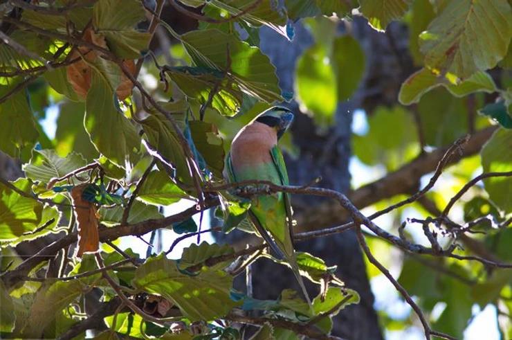 Red-breasted Parakeet at Huai Kha Khang