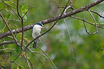 Collared Kingfisher at Pak Thale