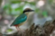 Fairy Pitta 01.webp