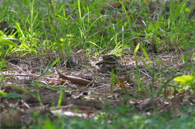 Indian Stone-Curlew at Puttamonton Park