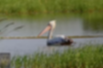 Phetchaburi Rice Fields-Spot-Billed Pelican.