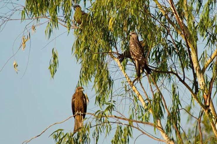 Black Kites at Pak Phli