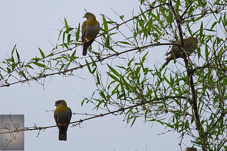 Yellow Footed Pigeons at Mae Wong NP