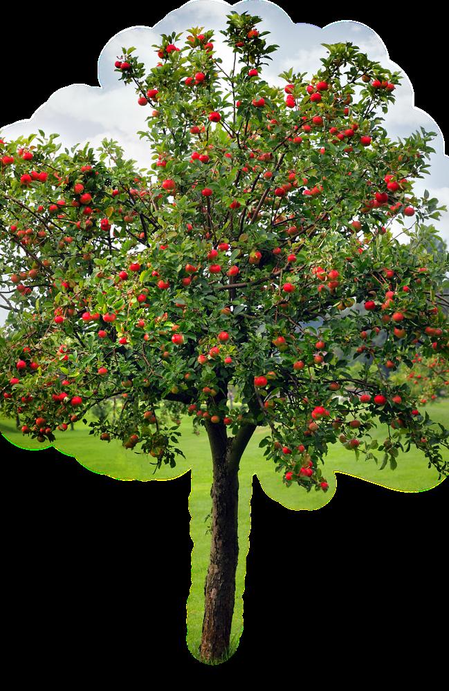 apple-tree_edited.png