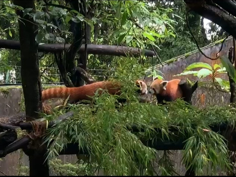 Fifth red panda birth in Darjeeling Zoo this year