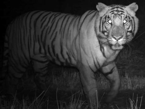 Rare sighting of snow leopard and tiger at Kyongnosla