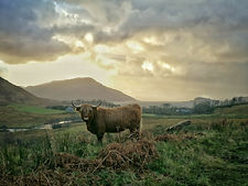 Highland Cow, Kilchoan Estate Knoydart