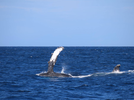 クジラ飛ぶ。小笠原。