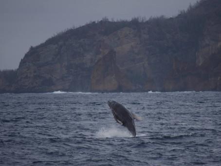 クジラにシロワニ、小笠原フルコース