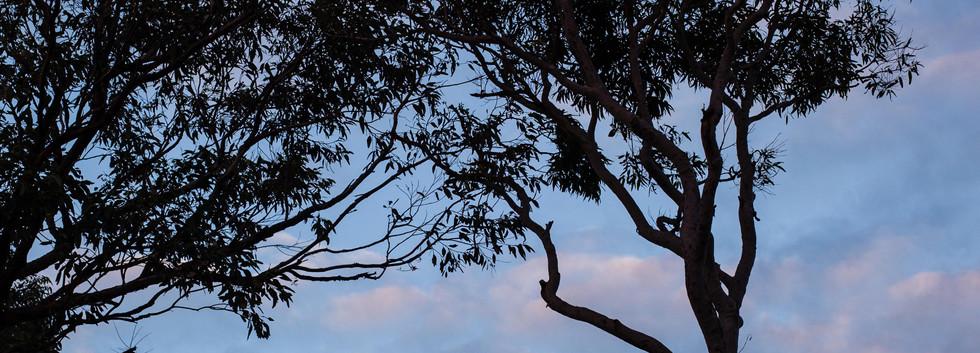 Eucalyptus trees in an island 01