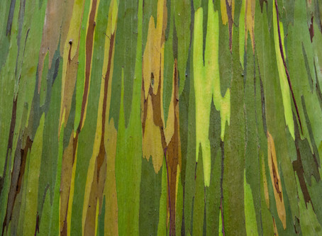 In search of the beautiful  Rainbow Eucalyptus