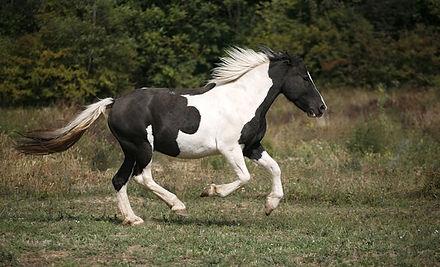 pinto-horse-1.jpg