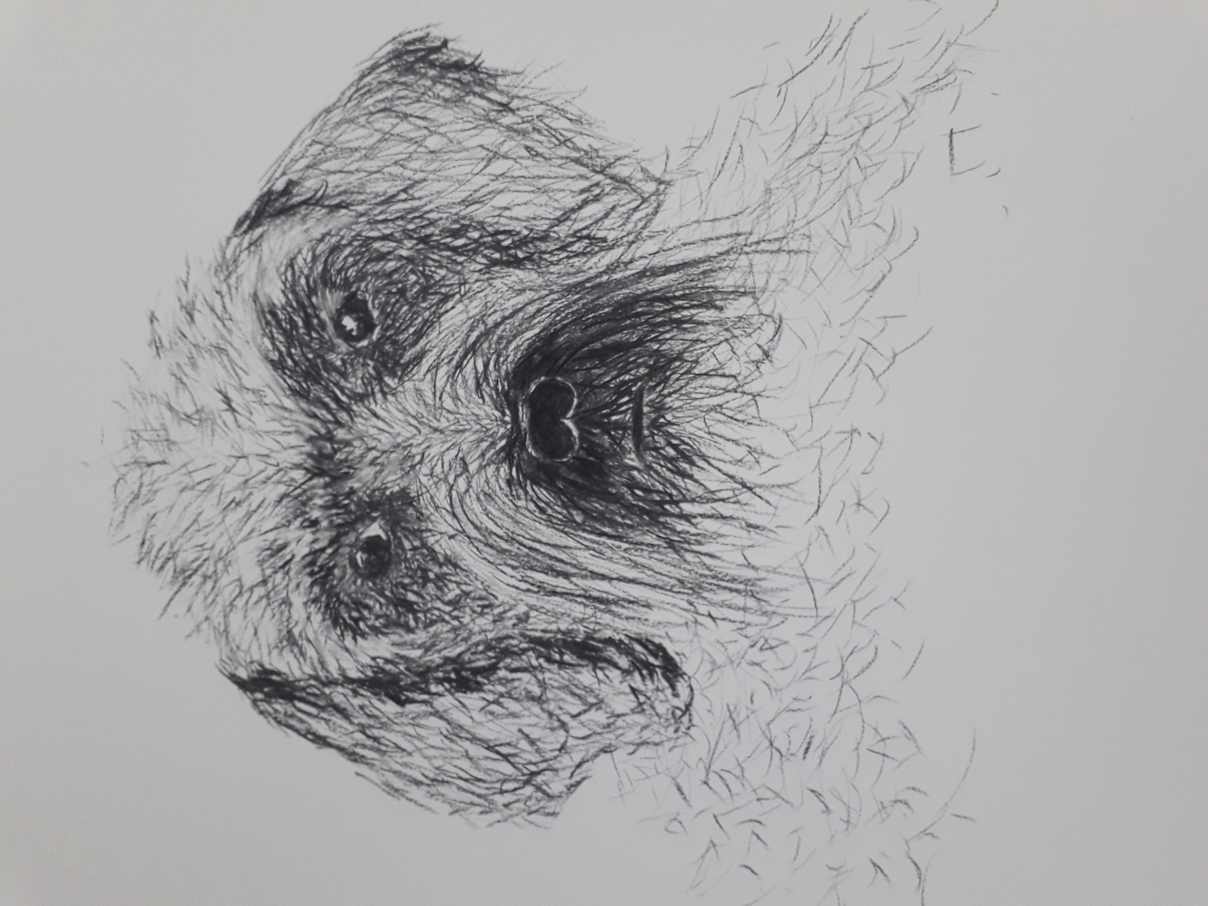 chien de face au fusain