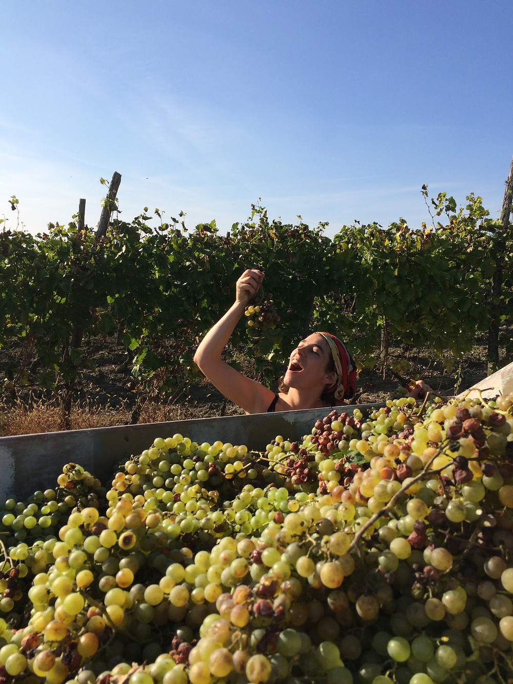 picking grapes in piedmont