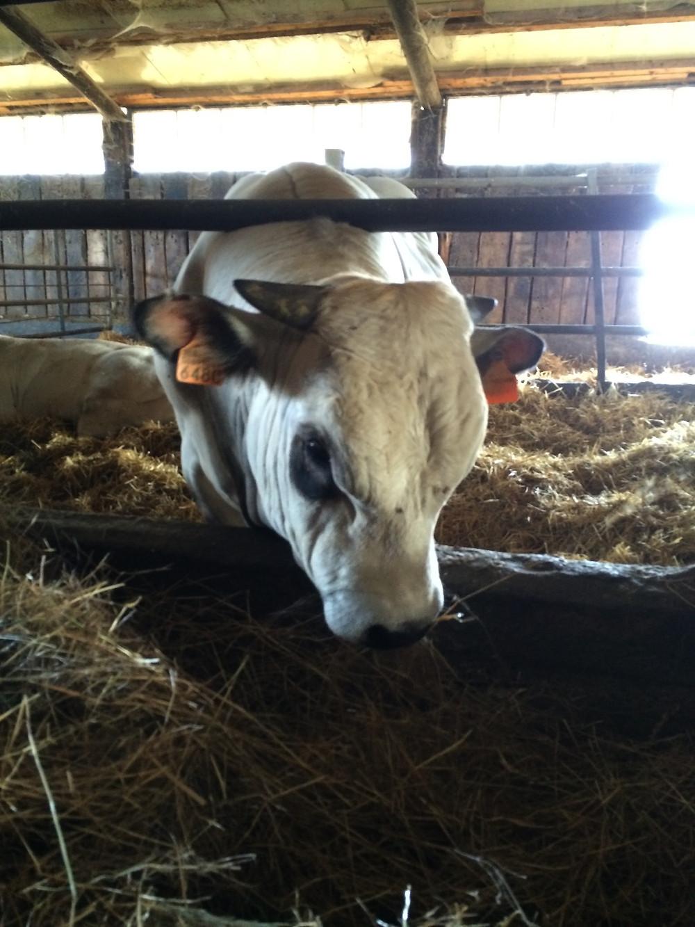 piemontese cow
