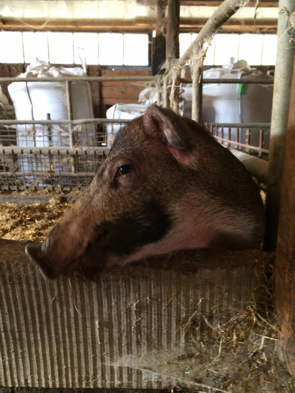 pigs in piedmont