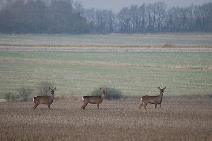 Suffolk roe deer