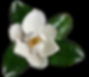 magnolia high res.png