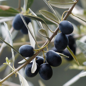 Lessons Learned from an Olive Tree