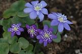 Ward hec flower.png