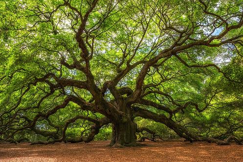 Angle Oak Tree in Johns Island, South Ca