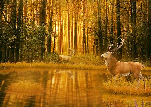 Deer Bucks in summer sunset light standi