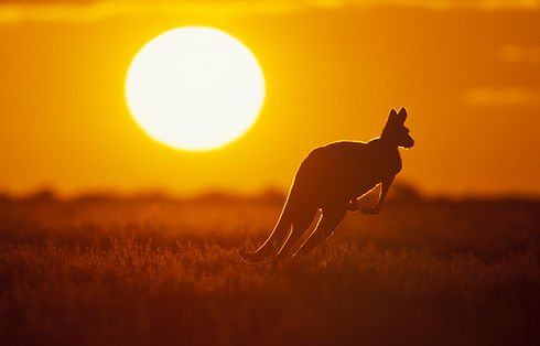 Kangaroo in Sunset in Sturt National Par