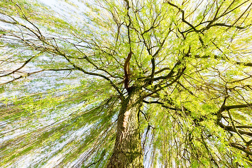 Sprouting willow tree with green leaves