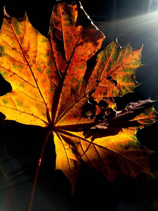 Autumn leaves, colour and sunlight _#Enl