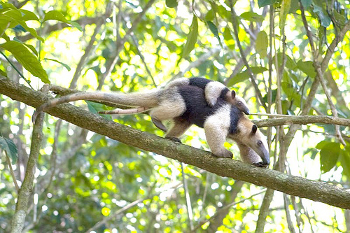anteater and baby costa rica real estate.jpg