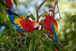 scarlet-macaws.jpg
