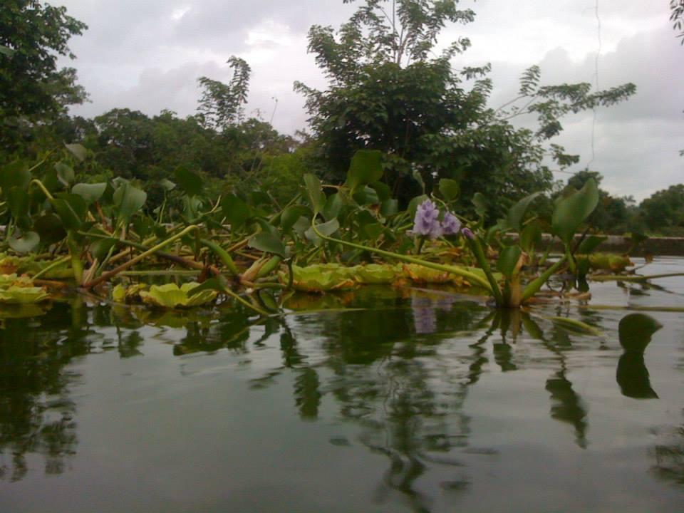 Tilapia Pond