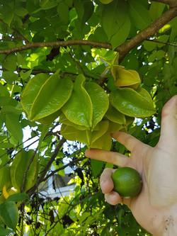 Starfruit (carambola)