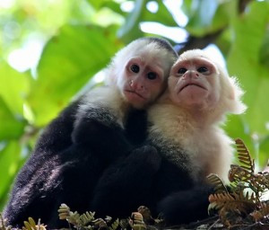 White-Faced-Monkeys-300x256.jpg