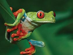 costa-rica-rana-frog.jpg