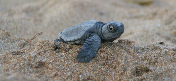 turtle_day_loggerhead_costa_rica.jpg