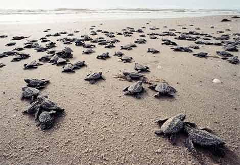 kemps-ridley-sea-turtle1_1_.jpg